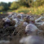 有機農法、自然農法、色々あるが違いは何?安全性と関係ない農法比較