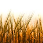 【体験談】化学肥料のデメリットは3つの害:僕が有機肥料を使う理由