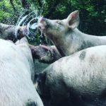 【激推】椎葉放牧豚は超安全なブランド豚肉です【レストランお勧め】