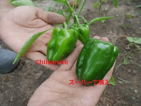 有機野菜の比較(ピーマン)