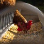 宮崎県の鳥インフルエンザの発生から考える家畜伝染病の真の原因