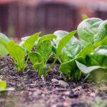 有機野菜の味や栄養価の違いは?【結論:今と昔の野菜の違いです】